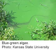 Water with 'blue-green algae' can cause liver
