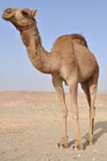 MERS Virus Found in Air in Camel Barn