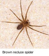 Brown Recluse Spider Bites on the Rise, Expert Warns