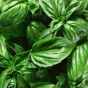 Basil Bread Recipe