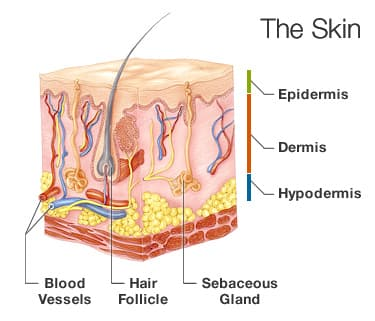 skin information: layers of skin, keeping skin healthy, and more, Human Body