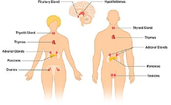 what is the endocrine system: endocrine glands and their function, Human body