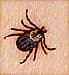 Removing tick with tweezers