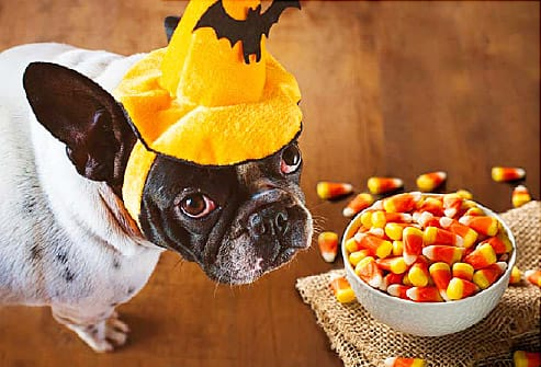 dog in halloween hat wanting candy corn