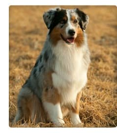 Picture of Australian Shepherd