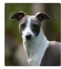 Picture of Italian Greyhound