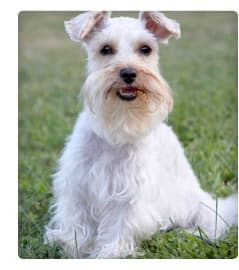 Picture of Miniature Schnauzer