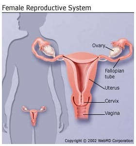 femalereproductivesystem