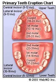 Your Child's Teeth: Development Chart and Eruption Schedule