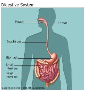 human body digestive system organs, how it works, and more, Muscles