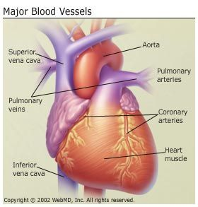 Major blood vessels