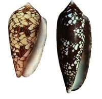 Cone Snail Shell Photo