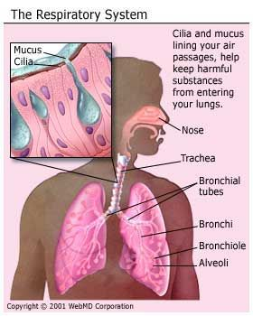 external image how_we_breathe_understanding_how_lungs_respiratory_system_work_respiratory_system.jpg