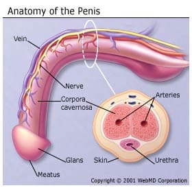 Penis Anatomy