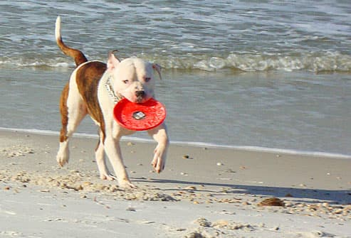 White and brindle pitbull with frisbee