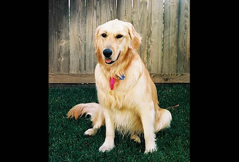 Golden retriever sits in front of fence
