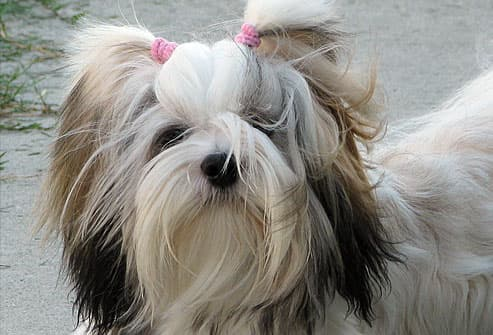 Long haired white dog with black ears