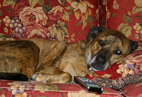 Brindle dog lying on couch with remote