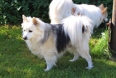 Papillon standing in yard