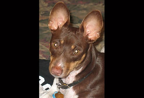 Brown dog with impressive ears