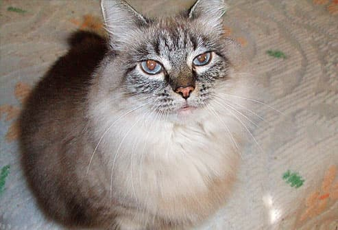 Gray long haired cat with blue eyes