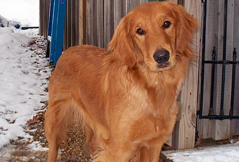 Golden retriever standing by fence