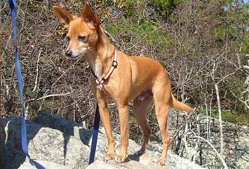 Fawn terrier standing on rock