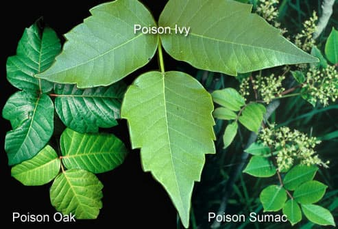 poison oak vs poison ivy. In general, poison oak grows