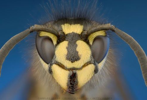 Photo of head of yellow jacket wasp