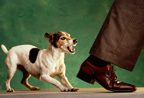Dog nipping at businessman's heels
