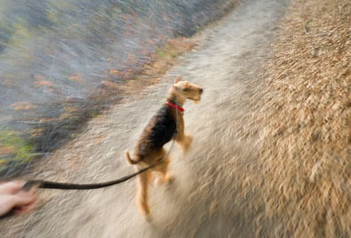 Airedale Terrier dog walking on leash