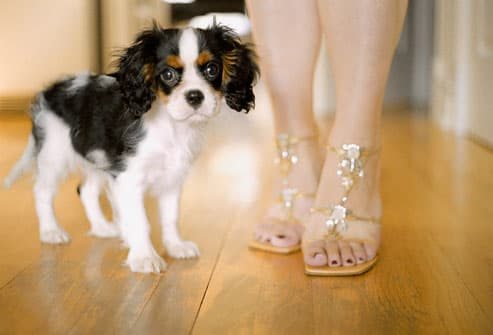 or Cavalier King Charl...