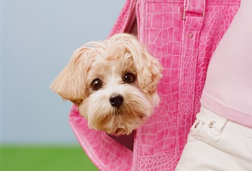 Girl carrying Maltese-Poodle mix breed dog