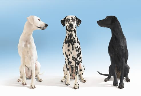 Black and white dogs looking towards dalmatian