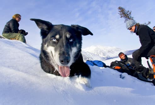 Alaskan Husky in front of a hiking group