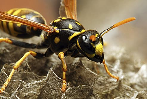 wasp. Pictures of Bugs That Live in Your House