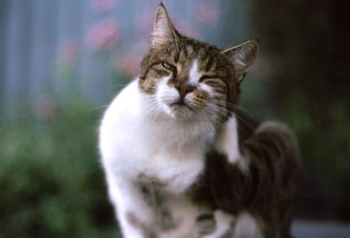 cat abscess treatment at home