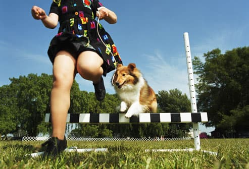 Woman and Shetland sheep dog jumping over obstacle
