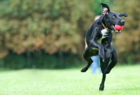 Dog Jumping and Catching Ball
