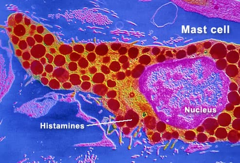 Human Mast Cell