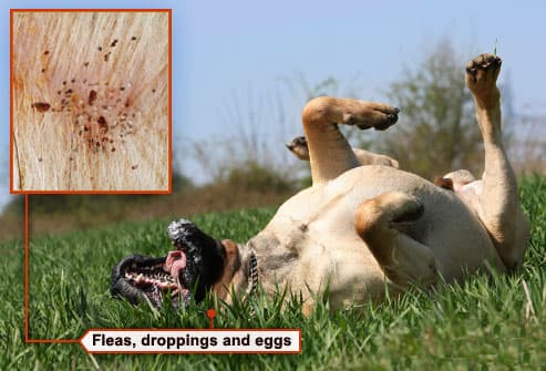 Dog Fleas Pictures Flea Warning Signs Dogs