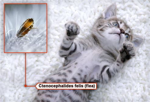 What Do Fleas Look Like On Cats