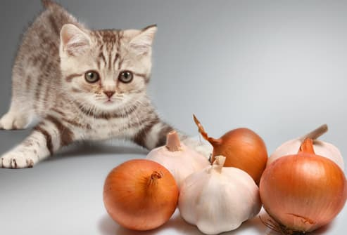 Kitten in defensive crouch against onions & garlic