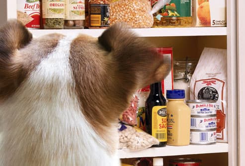 Terrier looking into pantry