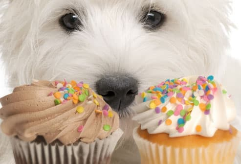Dog looking soulfully at cupcakes