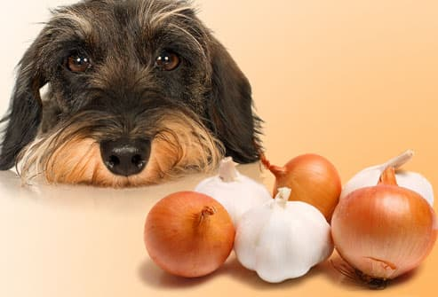 Sad dog regarding onions and garlic