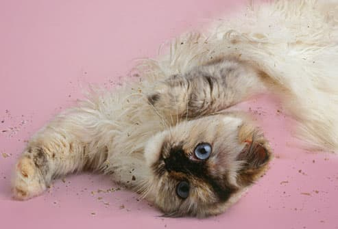 Catnip shouldn't be given to pregnant cats.