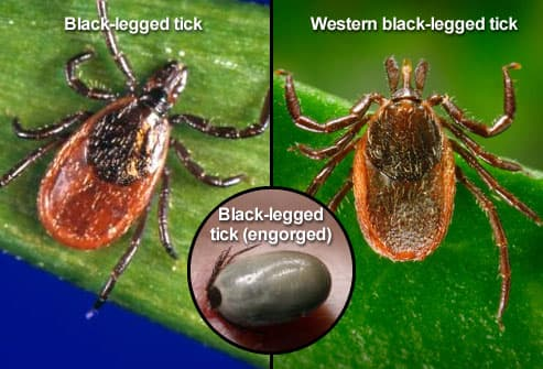 Three different black-legged (deer) ticks