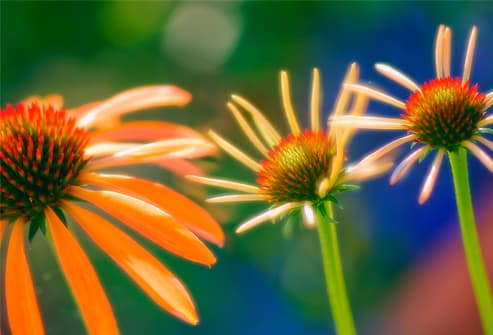 Three coneflowers (Echinacea Purpurea)