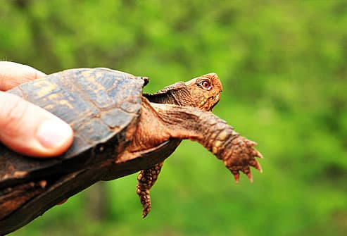 Hand holding a box turtle